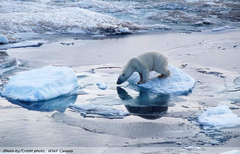A photo of a polar bear on a floating piece of ice. Photo by WWF Canada